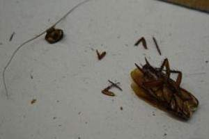 How long does a cockroach live without a head